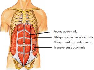 anatomie buikspieren
